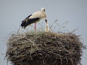 A stork and her hungry little one.