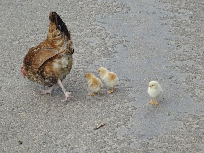 chicks-on-road---compressed